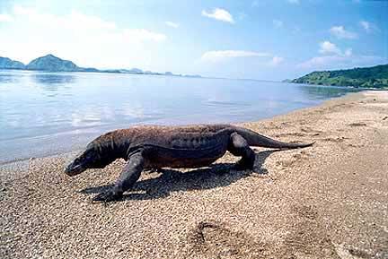 Pulau Komodo terus bersaing dalam kompetisi New7Wonders of Nature